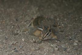 Knapp 12 cm (ohne Schwanz) langes Chipmunk
