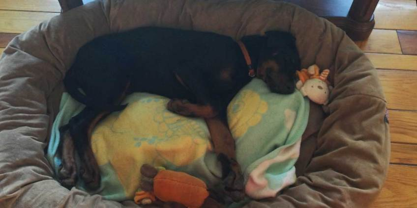 how to raise doberman puppy - first days at home