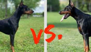 How Much Does a Doberman Cost? Puppy Prices and Expenses