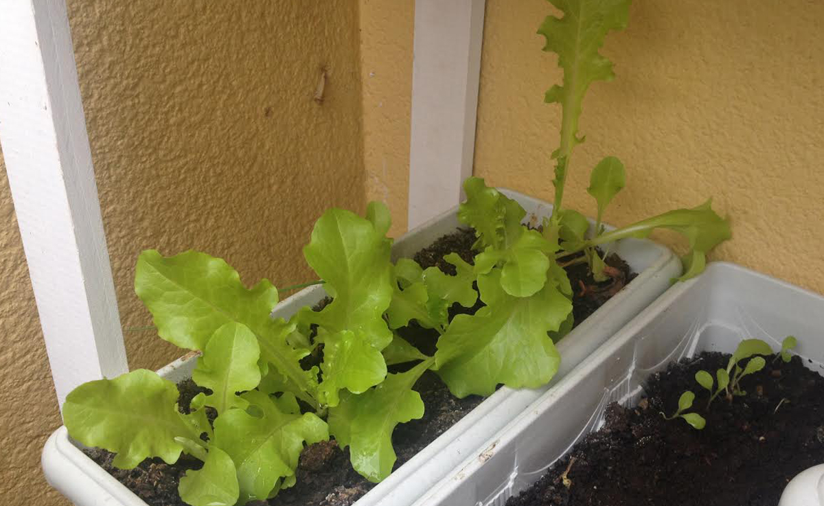 Conhecido Cultivo de alface em apartamento IT61