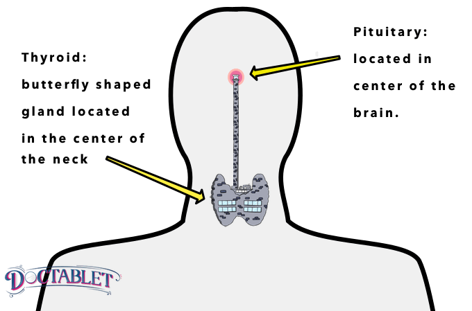 Thyroid and its relationship to the pituitary - Doctablet