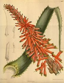 220px-Aloe_arborescens_natalensis_142-8663