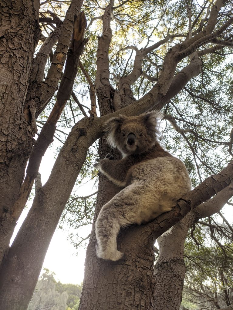 fauna australia koala