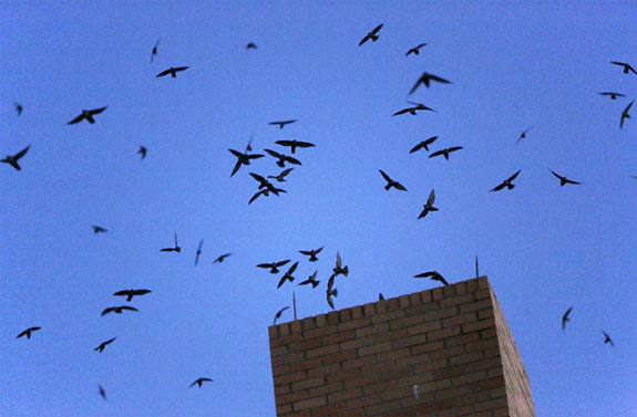 The Truth About Chimney Swifts  Doctor Flue