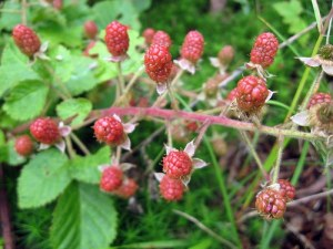 raspberry-leaves