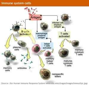immune system cells 1