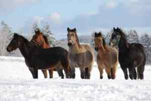Horses, supporting each other in the snow, with the support of their hair coats, without the support of blankets