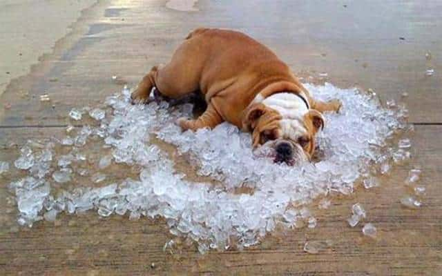overheated-bulldog.jpg