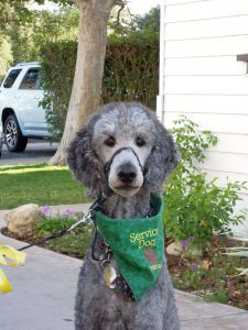 Silver standard poodle, Ollie, staring straight into the camera, wearing a green PSDP convention bandana
