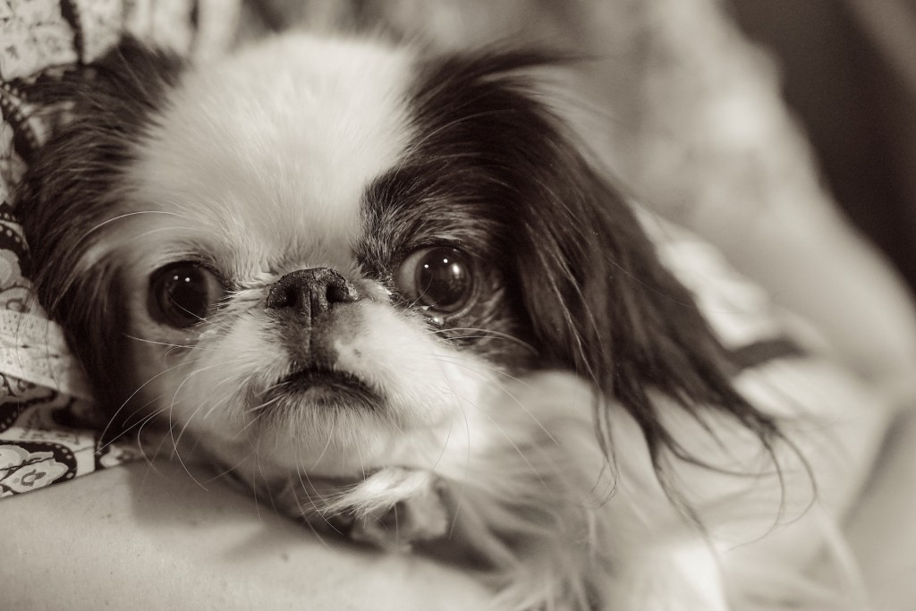 Closeup of Hestia in black and white.  She is a small black and white dog with a dark patch over one eye and both ears.