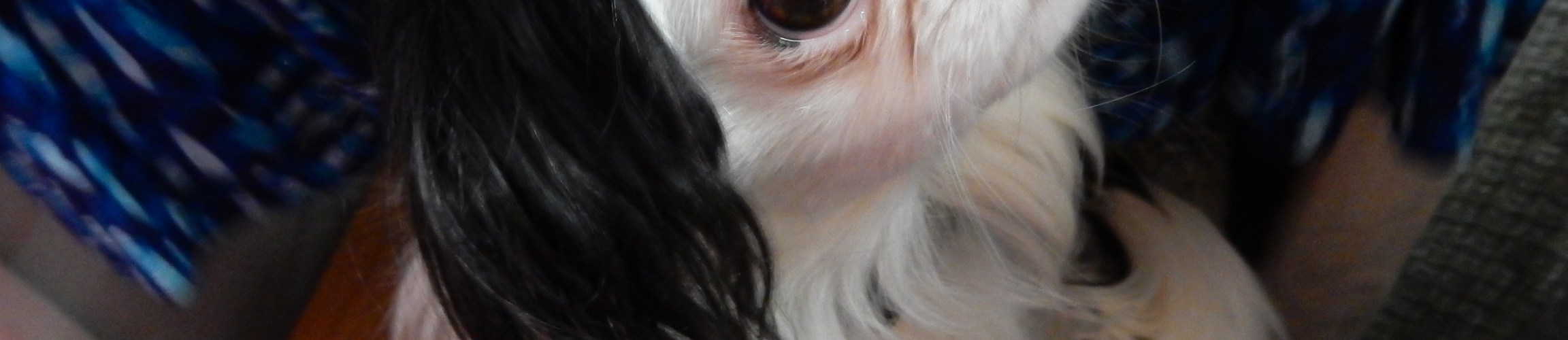 Closeup of Hestia's face. She is a black and white small dog. Only one eye is surrounded with black, the other eye is surrounded with white.
