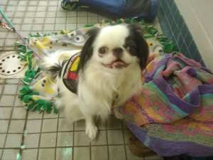 A small black and white dog in a red service dog vest sitting on a green, yellow, and grey mat with a multicolored towel in front of her.