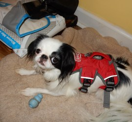 """Hestia, a small black and white dog, wearing a red Ruffwear webmaster harness. This harness has three """"legs"""" that stick out of material to which you can attach buckled etc."""