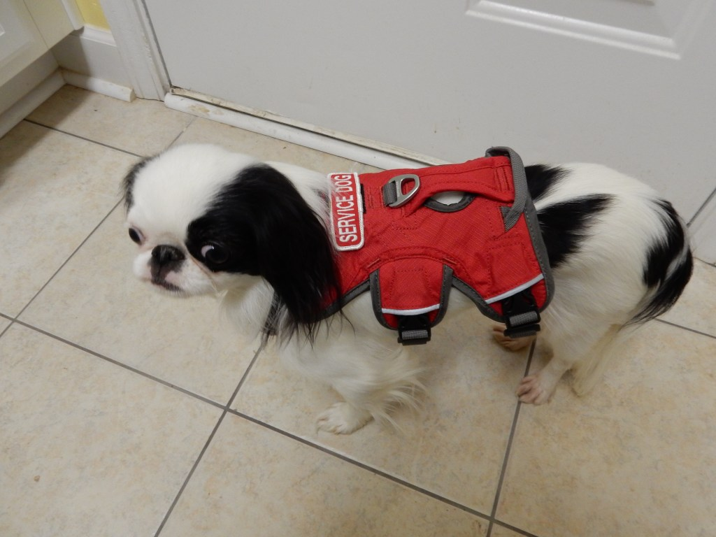 Hestia in red ruffwear vest-- looks kinda like an alien on her back!