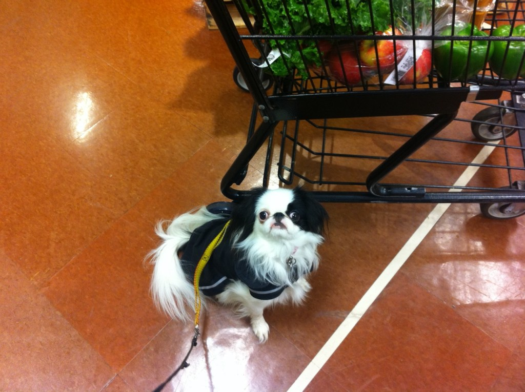 Hestia in black raincoat with yellow and black harness on top-- in the grocery store next to the cart.