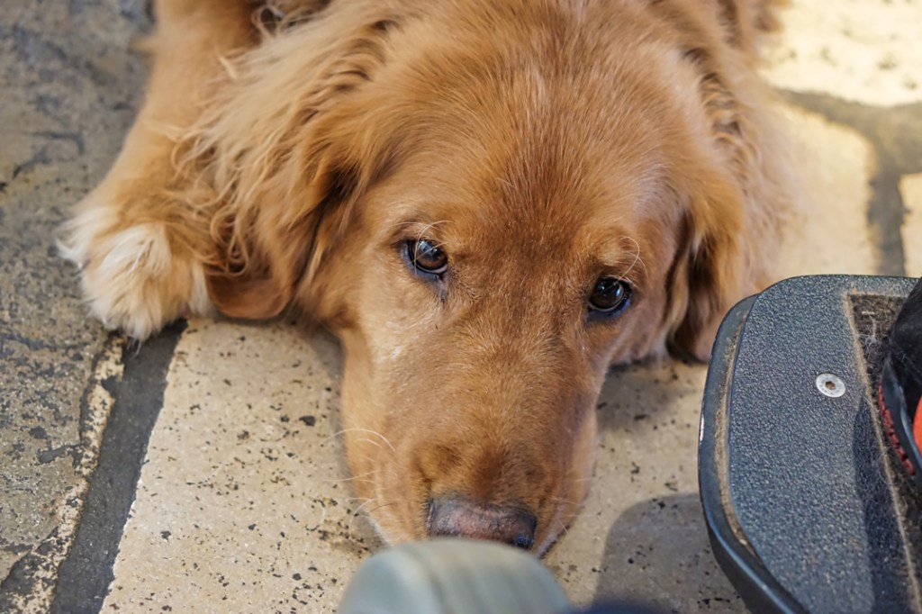 A red Golden Retriever head, Roger, looking bored at our museum adventures!