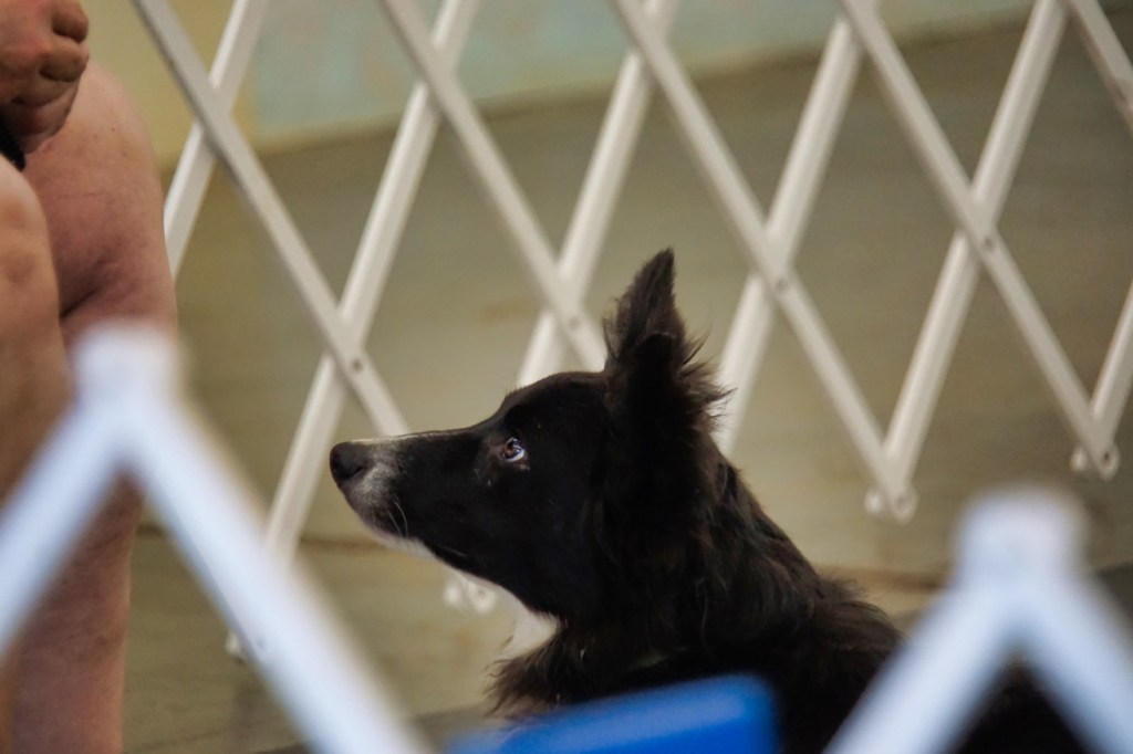 Small Border Collie looking at their handler