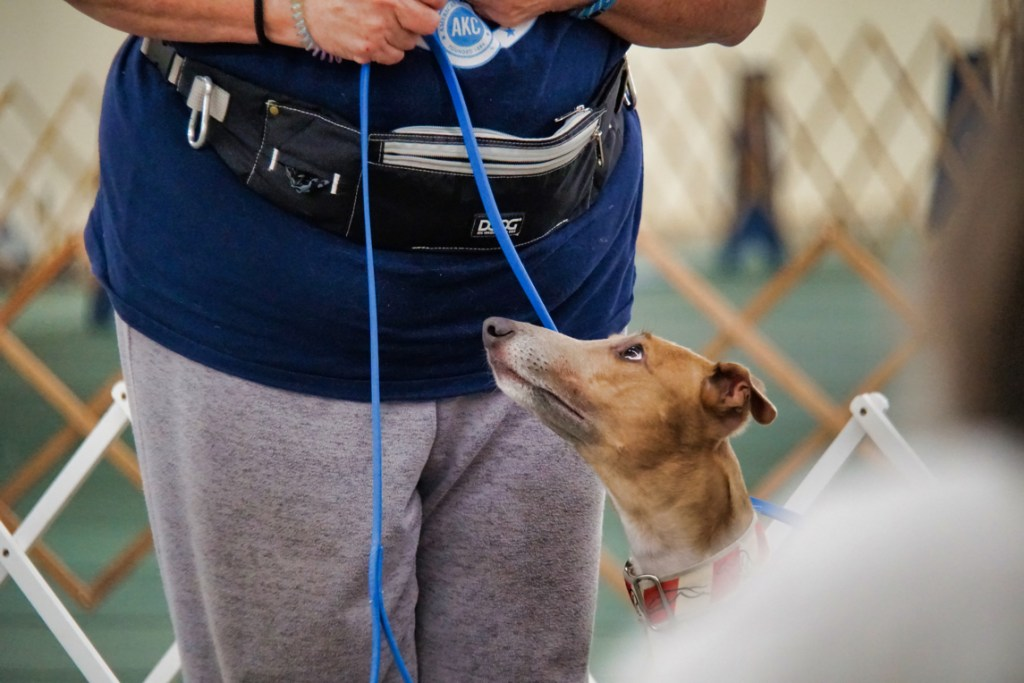 A whippet looks up at her handler.