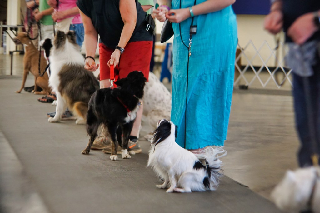 All the dogs in the class lined up doing a group sit-stay!