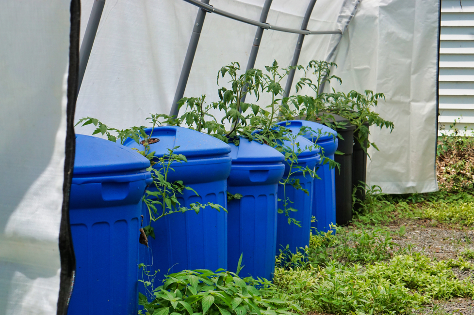 At the Catawba Indian Nation, they  had some tomatoes growing hydroponically in large, new trash cans!