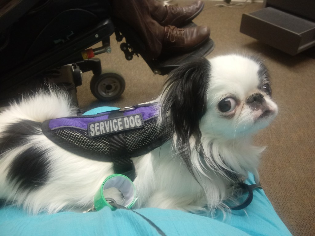 A small black and white dog with googley eyes sits on a lap and looks up at the camera.  She is wearing a purple mesh service dog vest, and you can see Brad's feet and bottom of his wheelchair in the background.