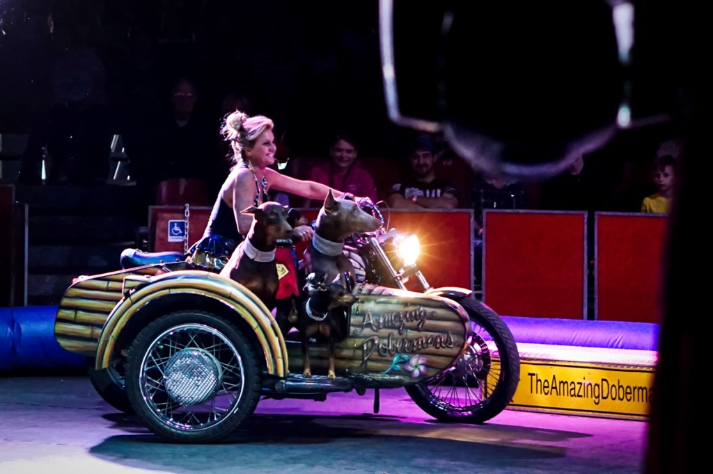 A woman drives a motorcycle with a sidecar, and the sidecar is full of dogs.