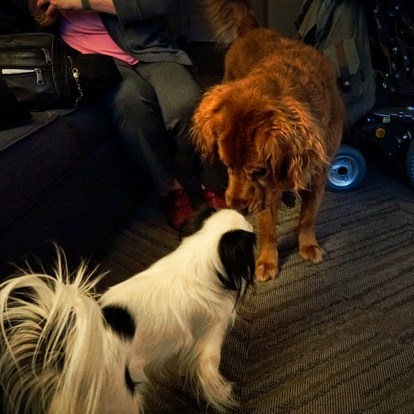 Hestia, a small black and white Japanese Chin, is nose to nose with Roger, a red Golden Retriever