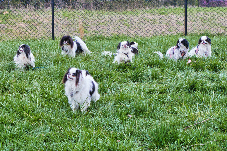 All seven Chin without their owners holding a stay in the grass.