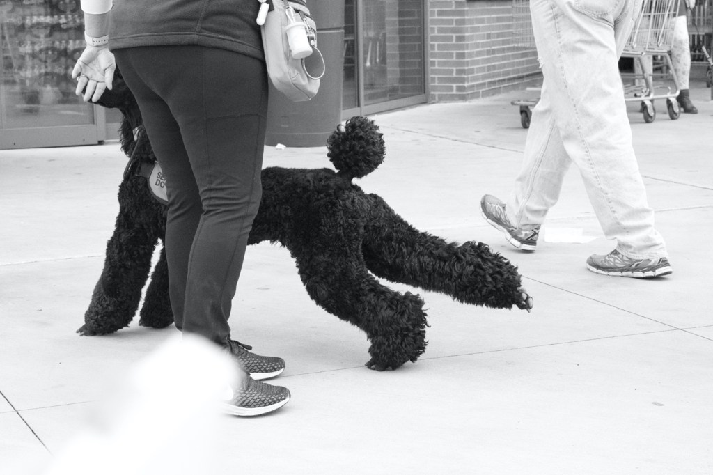 A black and white photo of Phoebe stretching, with one leg extended fully out and her pom pom tail straight up.