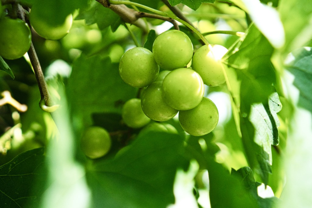 The sun is dappled on this cluster of grapes.