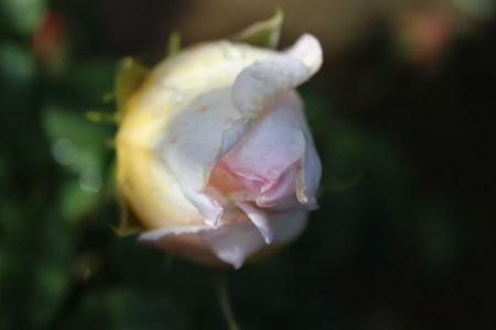 rose_ogura10