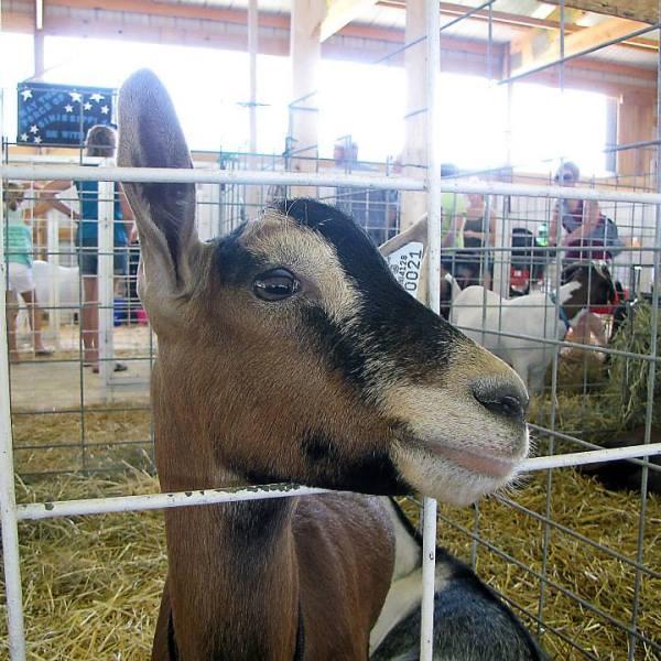 Junior Fair Goat Judging Results