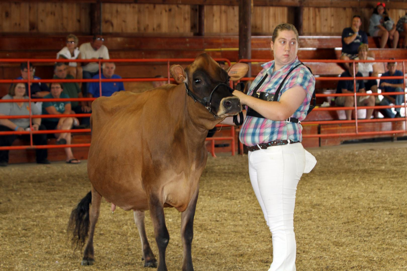 Dodge County Fair Dairy Cattle in Arena
