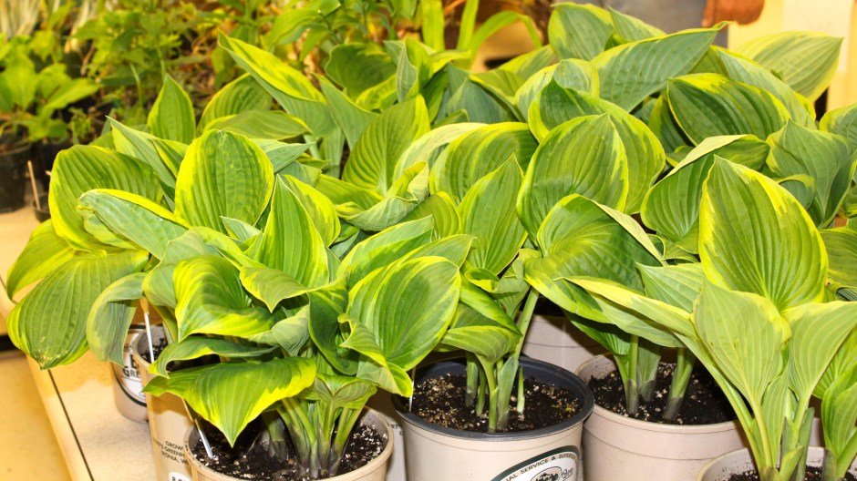 Hostas Local Grower Fundraiser