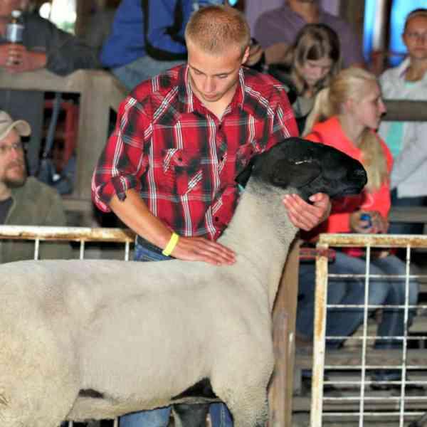 Junior Fair Sheep Lead Class and Breeder Judging