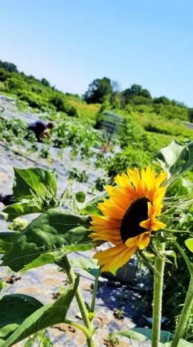 Shelly Grosenick Wisconsin sunflower