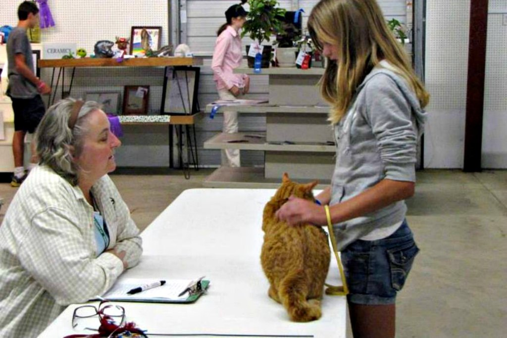 junior fair cat kitten judging