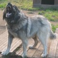 Pin russian caucasian dog for sale on pinterest