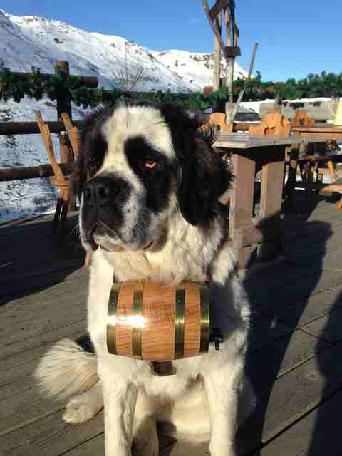 Saint Bernard  Once a Heroic Trail Blazer Now a Gentle Pet