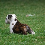 How To Find And Deal With English Bulldog Breeders