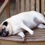 Stop the Pet Obesity Epidemic and Help Your Pet