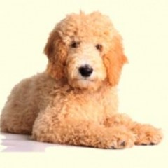 rp_breed_goldendoodle_puppies_1282510996.jpg