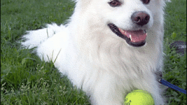 American_Eskimo_dog.png