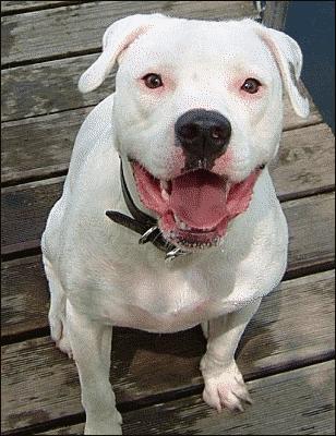 American_bulldog.png
