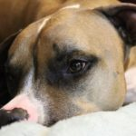 How to Choose Best Dog Food for Pitbulls