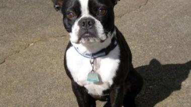 boston-terrier2023.JPG