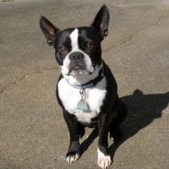 boston-terrier2023.JPG