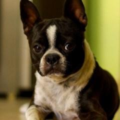 boston-terrier2061.jpg