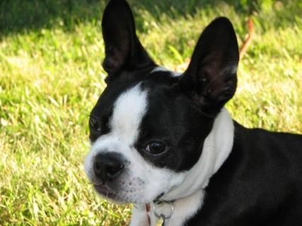 boston-terrier2070.jpg
