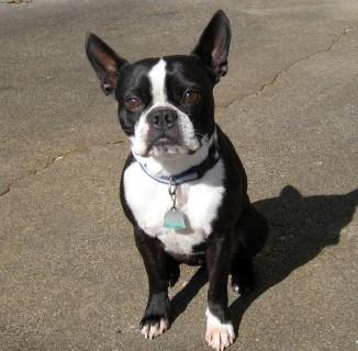 boston-terrier2076.JPG